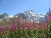 Alpine flora in Arolla Valley, Switzerland