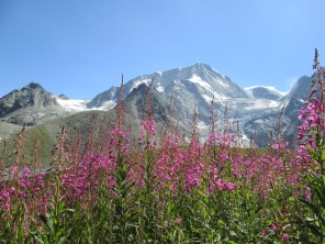 Alpine flora in Arolla Valley, Switzerland